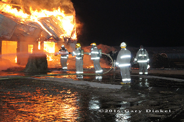 cow that escaped as a dairy barn fully engulfed in flames at night